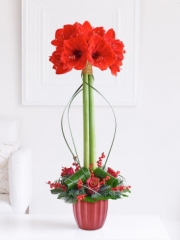 Christmas Amaryllis Lifestyle Arrangement